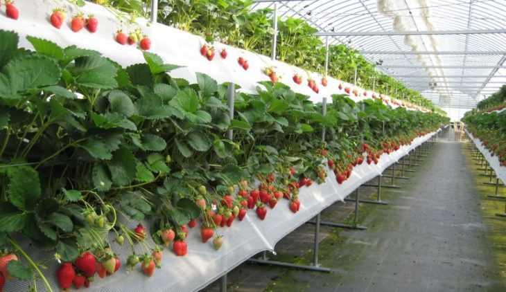 Клубника в трубах - советы по выращиванию и подробная инструкция как получить хороший урожай (105 фото + видео)