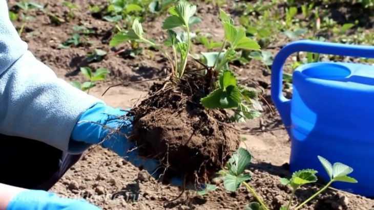 Когда рассаживать клубнику - когда и как правильно это делать. Пошаговый мастер-класс для начинающих (105 фото)