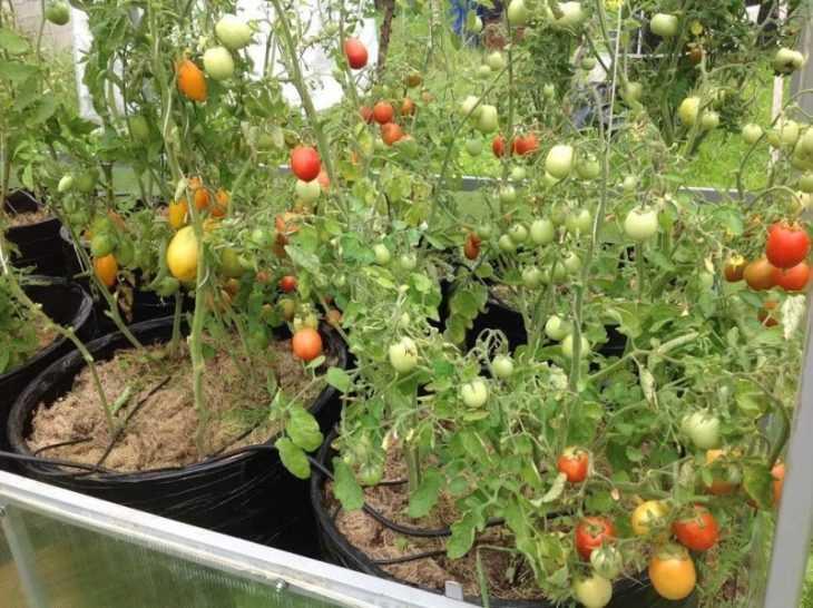 Куриный помет как удобрение для помидор и огурцов: использование и правила применения натурального удобрения (120 фото)