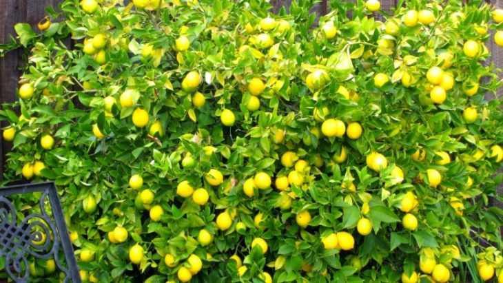 Лимон из косточки в домашних условиях - 110 фото как вырастить вкусный лимон быстро и просто