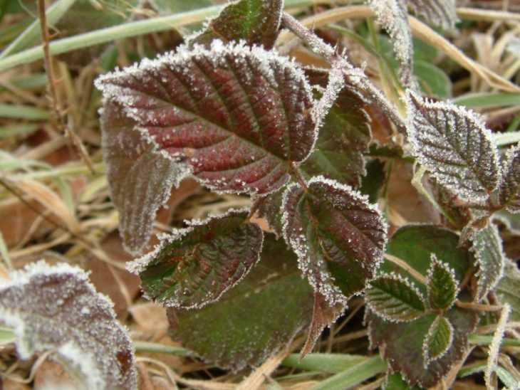 Листья малины: 95 фото лечебных свойств и противопоказаний к употреблению в пище
