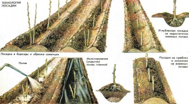 Малина гусар - 125 фото, характеристики, особенности посадки и секреты повышения урожайности