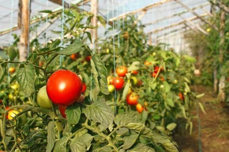 Медный купорос для помидоров - 110 фото и видео мастер-класс разведения и применения для обработки помидор