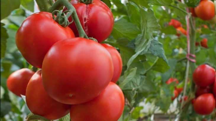 На каком расстоянии сажать помидоры - 105 фото и видео рекомендации садоводов и огородников