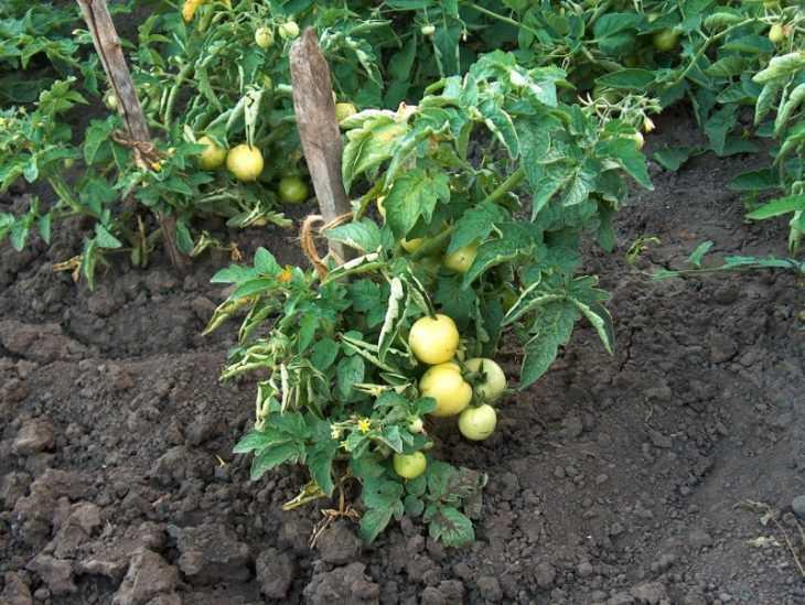 Низкорослые помидоры - самые урожайные сорта и особенности их выращивания (видео + 120 фото)