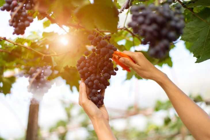 Обработка винограда - 105 фото основных болезней и вредителей и видео описание методов обработки виноградников