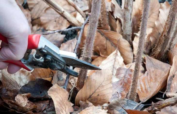 Обрезка малины - правила, сроки и особенности проведения обрезки малины своими руками (105 фото)