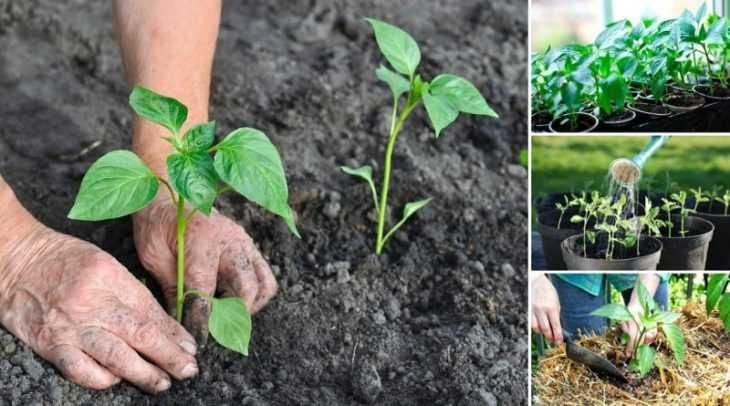 Перец не растет - 120 фото и видео обзор основных причин плохого роста перца и особенности его обработки