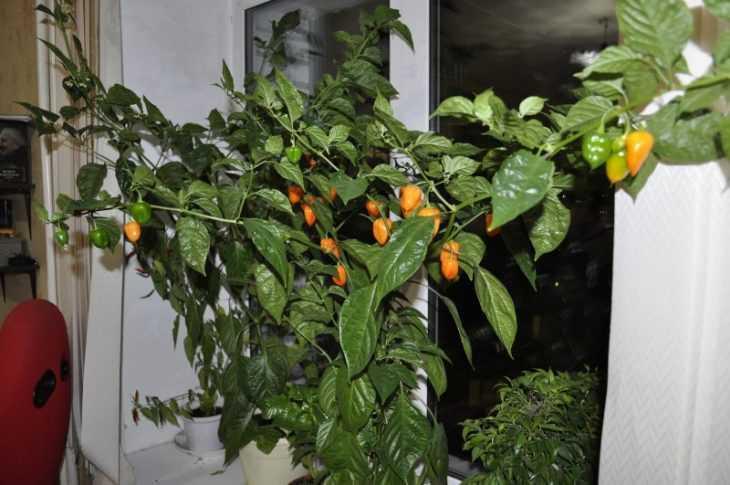 Перец огонек: пошаговый мастер-класс и советы как вырастить в домашних условиях перец (125 фото)