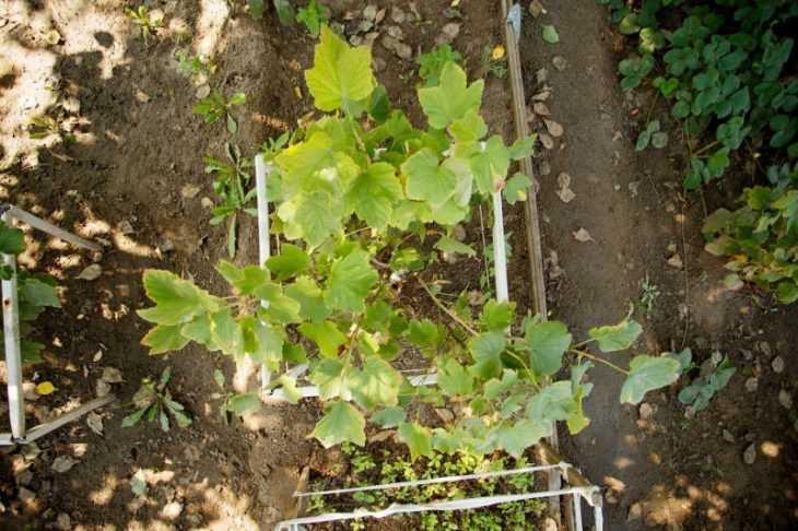 Пересадка винограда: зачем это нужно и как это делать правильно. Особенности выращивания пересаженного виноградника (135 фото)