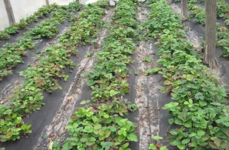 Пленка для клубники: как правильно использовать укрывной материал и повысить урожайность (100 фото)