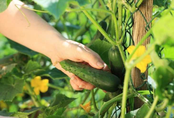 Почему не растут огурцы: обзор основных причин и способов восстановления роста (120 фото и видео)