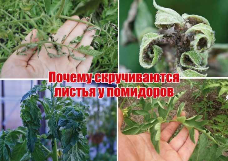 Почему скручиваются листья у томатов - главные причины скручивания и что делать при заболеваниях томатов (видео + 115 фото)