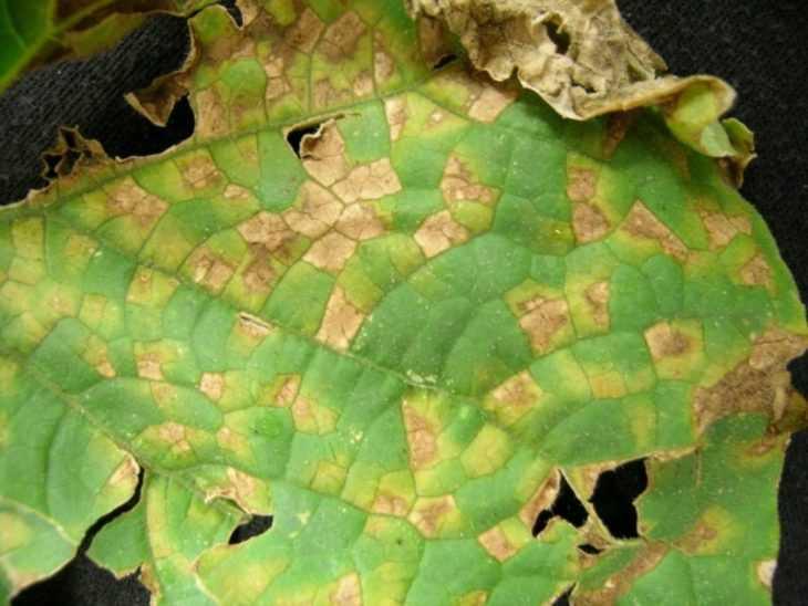 Почему вянут листья у огурцов: 115 фото и видео советы для начинающих как вылечить огурцы