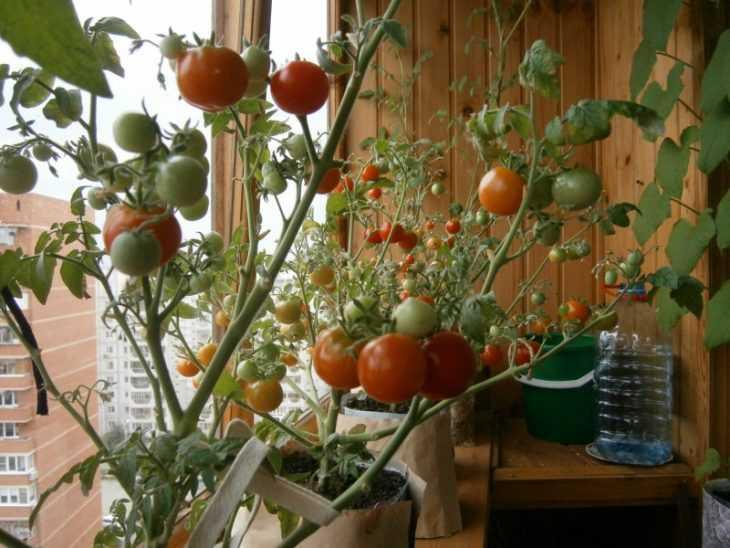 Почему вянут помидоры - 135 фото примеров увядания томатов и их лечения подручными способами
