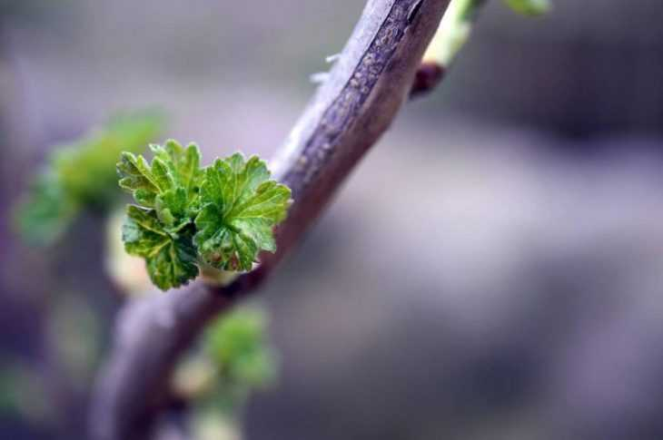 Почему желтеет смородина: что делать и как спасти смородину. Причины и секреты усыхания листьев (130 фото)