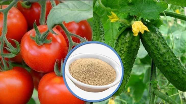 Подкормка дрожжами помидор и огурцов - лучшие составы и универсальные методы подкормки овощей (100 фото)