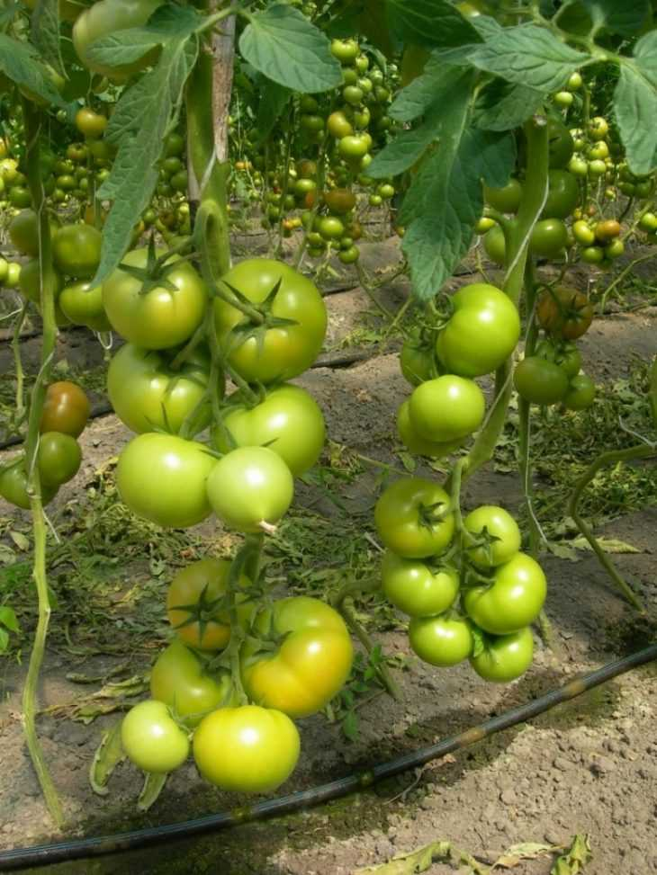 Подкормка йодом помидоров и огурцов - 135 фото и видео как подкормить и обработать йодом овощи