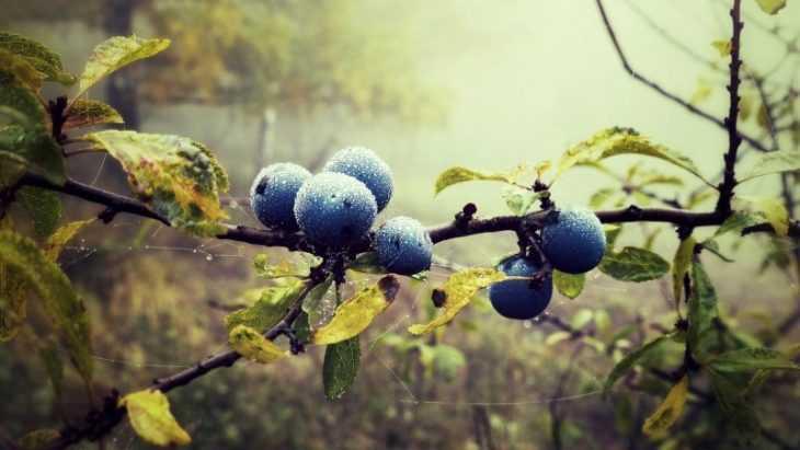 Полезные свойства голубики: особенности состава и влияние на организм человека (105 фото)