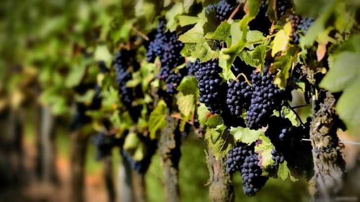 Польза винограда - 100 фото и видео описание полезных свойств винограда и его применение в пищу