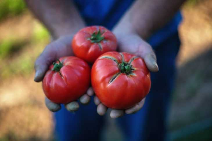 Помидор это ягода или овощ - разбираемся со специалистами и определяемся с характеристиками томатов
