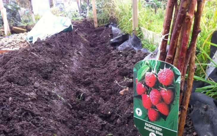 Посадка малины - пошаговая инструкция как посадить правильно малину правильно (120 фото + видео)