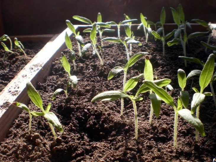 Посадка перца - как и когда можно посадить перец своими руками в домашних условиях (видео + 125 фото)