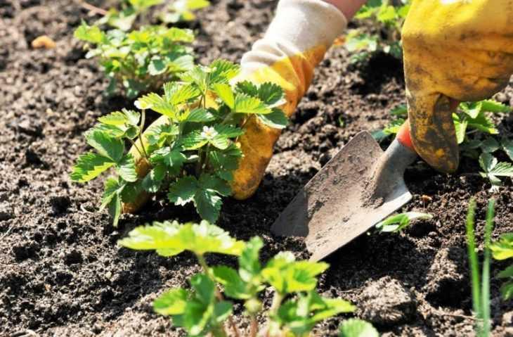 После чего сажать клубнику: 110 фото и видео советы после чего можно и когда сажать клубнику
