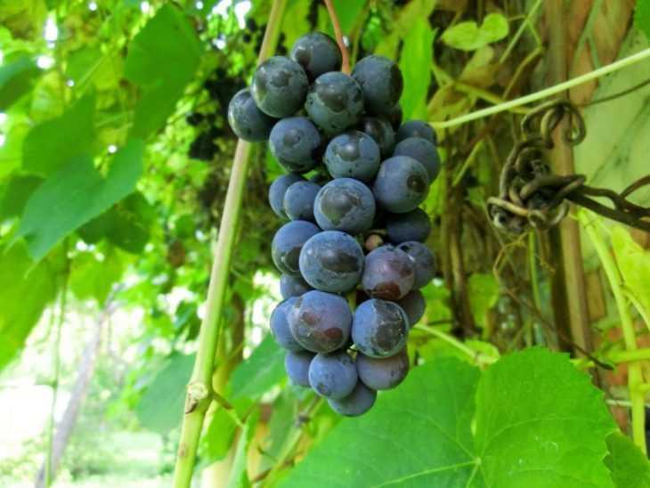 Прививка винограда - 120 фото и видео инструкция как прививать виноград правильно