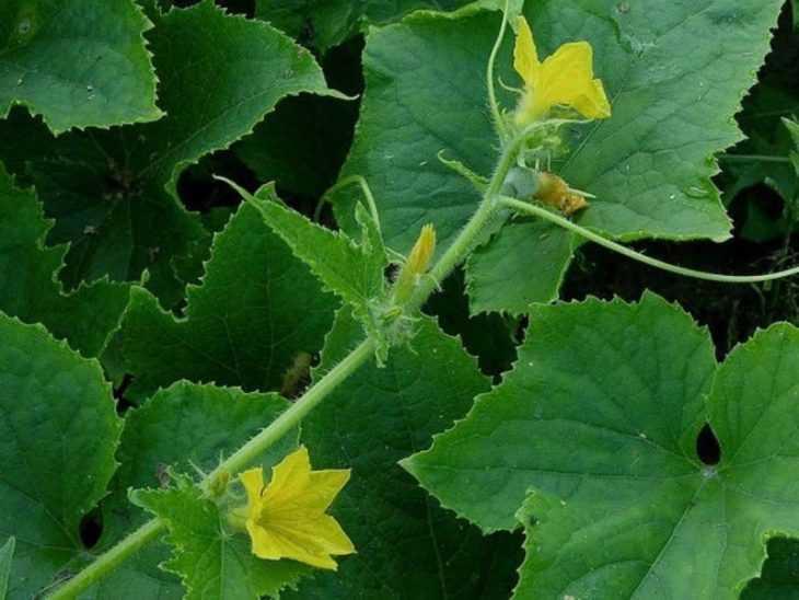 Пустоцвет на огурцах - 125 фото основных причин почему появляется пустоцвет и как с ним бороться
