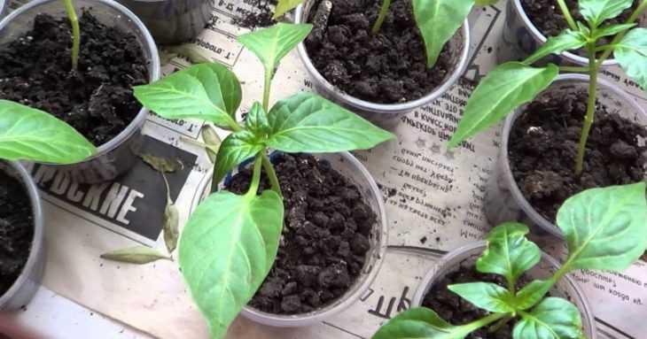 Рассада перца: 100 фото правильного выращивания рассады и видео мастер-класс посадки перца при помощи рассады