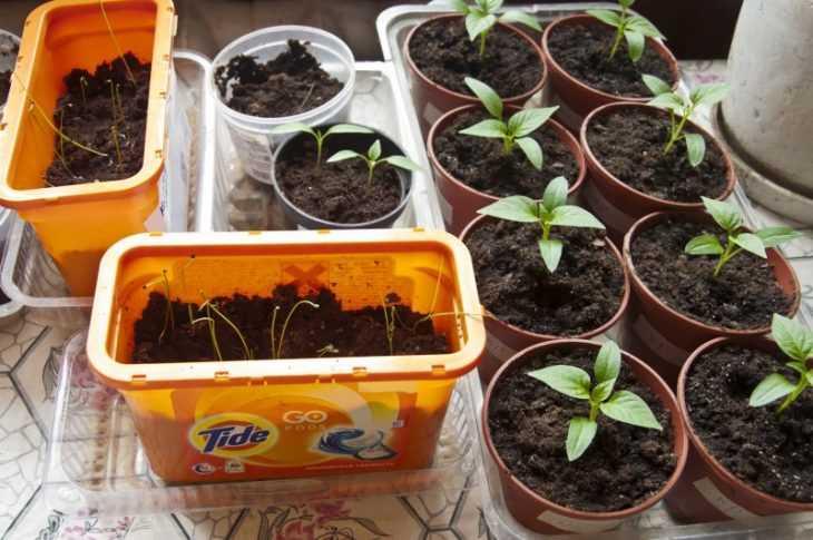 Рассада помидор - как вырастить и высадить правильно хорошую рассаду томатов в отрытый грунт и в парнике (115 фото)
