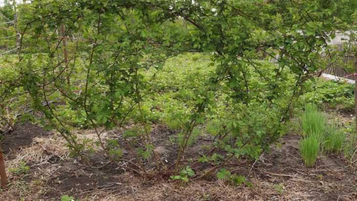 Размножение ежевики - лучшие способы и советы экспертов как правильно размножать ежевику (100 фото)