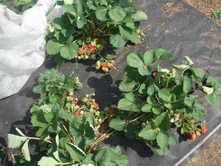 Ремонтантная клубника: что это такое и как правильно ее выращивать. 125 фото и видео описание основных сортов