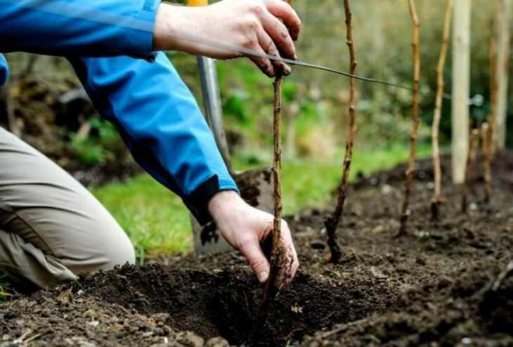 Семена малины: подробное описание выбора и применения для посадки малины семенами
