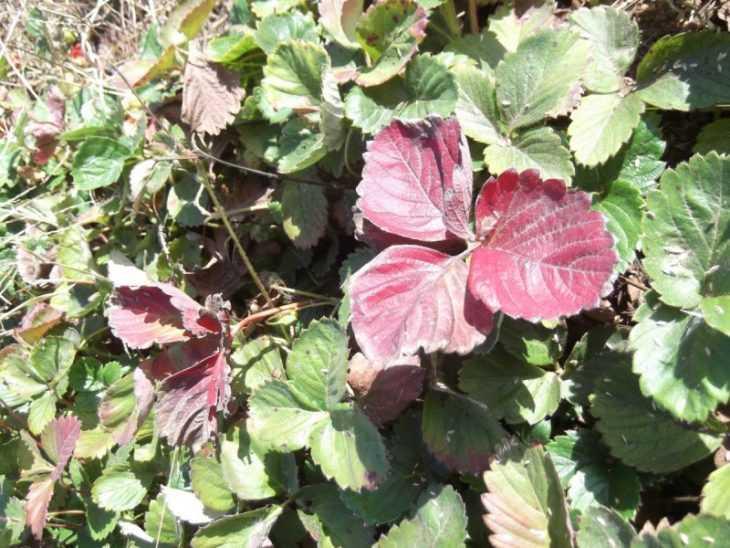 Скручиваются листья у клубники - как скручиваются листья и почему это происходит (140 фото)