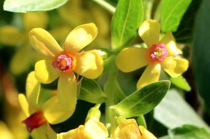 Смородина золотистая - 130 фото кустов, видео советы по посадке, уходу и выращиванию