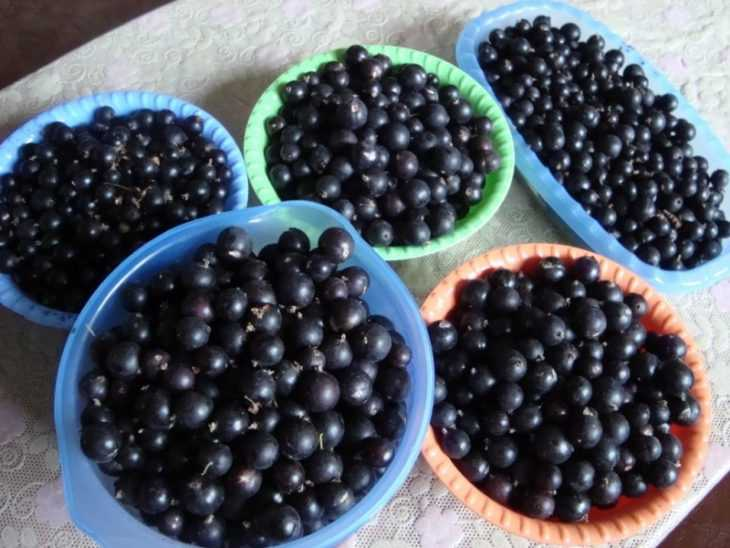 Сорта черной смородины: особенности выращивания и правила посадки разных сортов (145 фото)