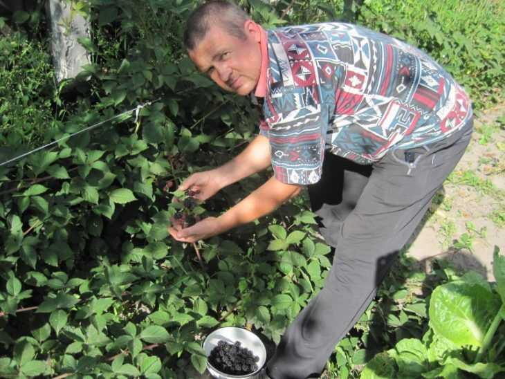 Сорта ежевики - 120 фото основных и самых уникальных сортов ежевики. Видео обзор особенностей разных сортов