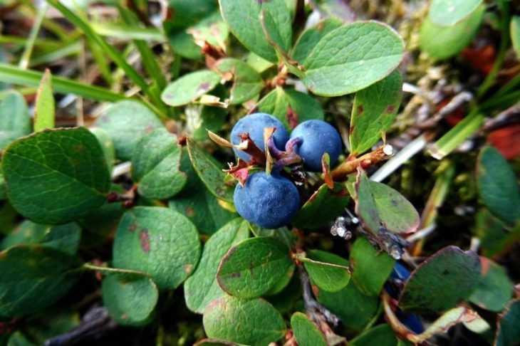 Сорта голубики - описание и рейтинг основных сортов с описанием выращивания (видео + 125 фото)