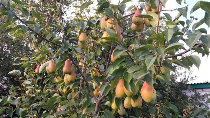 Сорта груш - самые лучшие и популярные сорта груш для средней полосы России (видео + 125 фото)