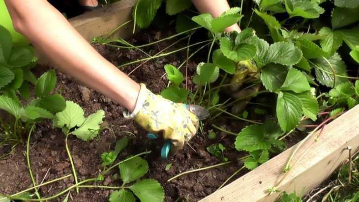 Сорта клубники: советы по лучшим методам выращивания клубники своими руками (115 фото)