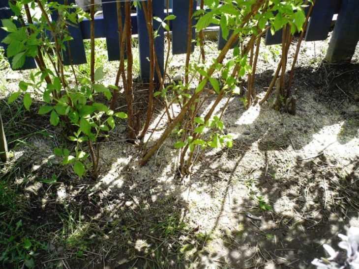 Сорта малины: 105 фото и видео описание выращивания популярных и редких сортов малины
