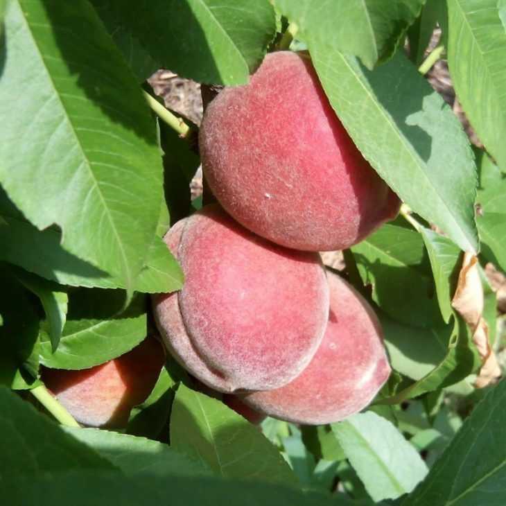 Сорта персиков - 125 фото основных сортов и советы по их выращиванию своими руками