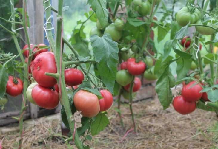 Сорта помидоров для открытого грунта - лучшие сорта и обзор методов выращивания томатов (140 фото)