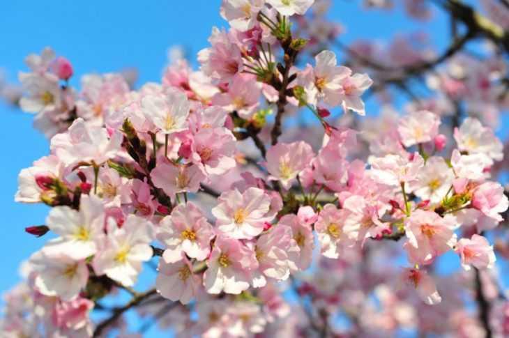 Сорта вишни - 105 фото сортов и видов вишни. Подробная инструкция по выращиванию вишни