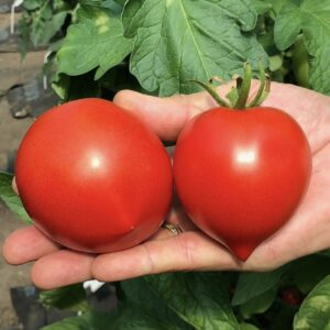 помидоры на ладони