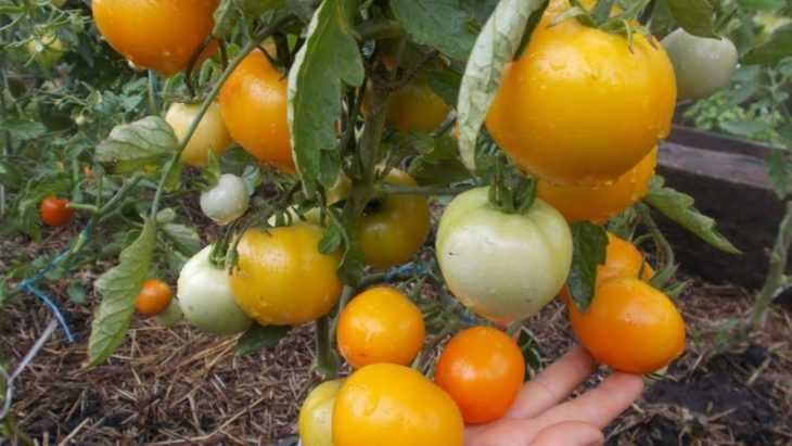 Томат хурма: отзывы, характеристика, нюансы посадки и выращивания (видео + 130 фото)