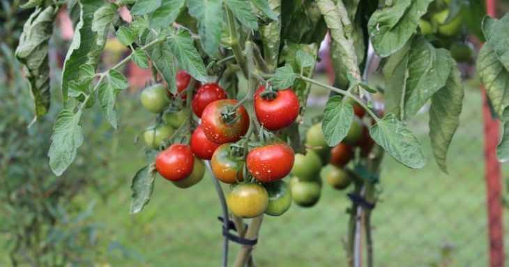 Томат Ляна - описание сорта, характеристики и особенности выращивания в парниках и открытом грунте (110 фото)