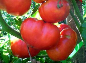 помидоры на ветке